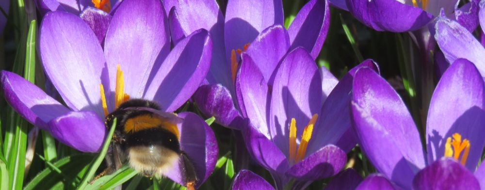 Crocus at Brickfield House